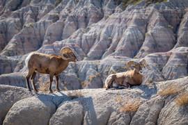 Bighorn Sheep Together on a Ledge, Badla