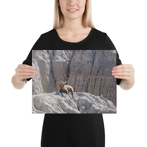 Bighorn Sheep Taking in the sun, Badlands National Park - Canvas