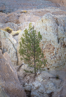 Tree Growing out of Rock, Badlands Natio
