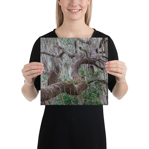 Live Oak Covered with Spanish Moss, Circle-B-Bar, Lakeland, Florida - Canvas