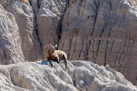 Bighorn Sheep Taking in the sun, Badland