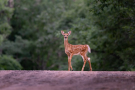 Fawn with spots on country road.jpg