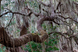 Live Oak Covered with Spanish Moss, Circ