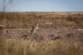 Burrowing Owl, Badlands National Park on