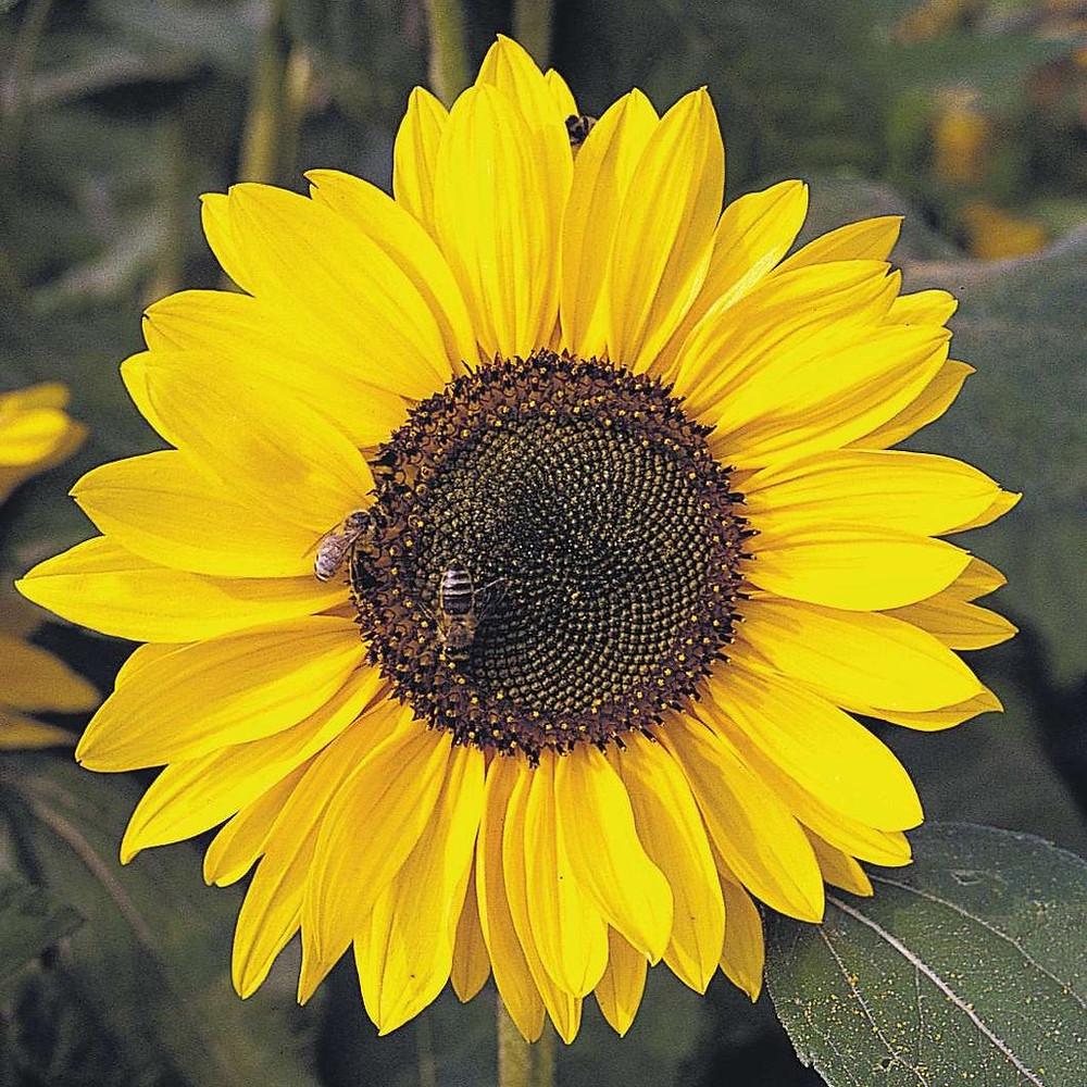 Sunflower: A symbol of gratitude.