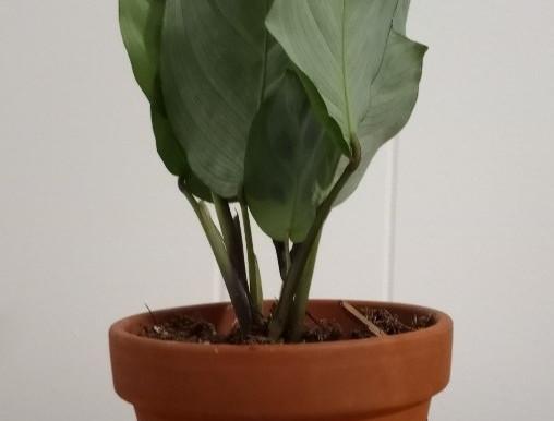A Prayer Plant