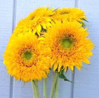 Sunny Side of Sunflowers