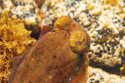 Whyalla Gaint Cuttle Fish