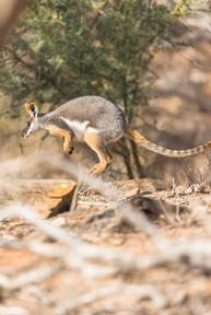 Yellow Foot Rock Wallaby