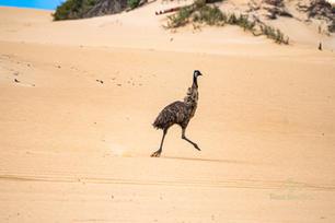 Emus - Tour South