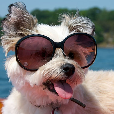 Pictures-Dogs-Wearing-Sunglasses.jpg