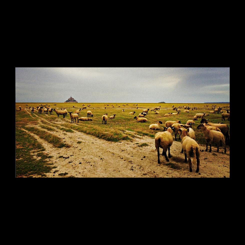 sheep mont st mich20.jpg