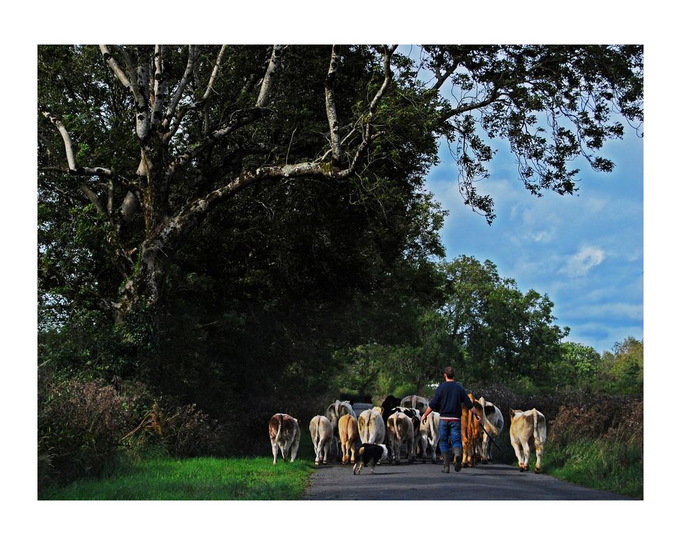 COWS FINAL.jpg