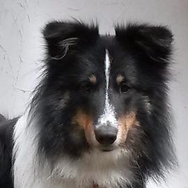 Ma chienne Chanel de notre élevage de Berger Shetland Prudshelties