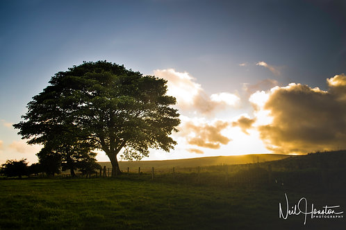 Beech Tree by Sunset