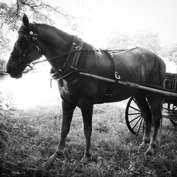 Saturday afternoon buggy ride...Traveler..