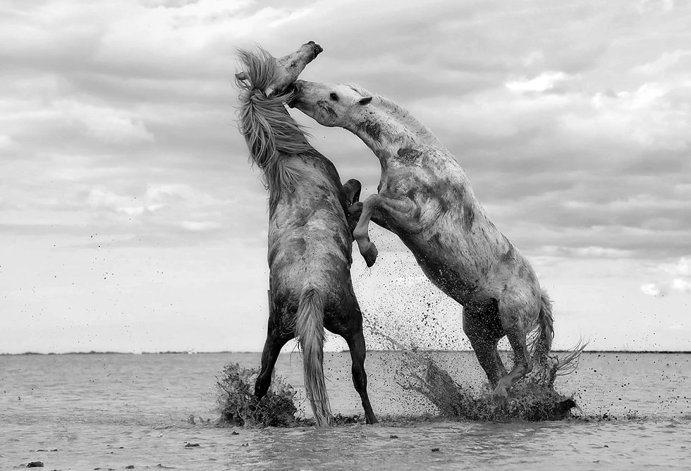 two-horses-fighting-in-shallow-water.jpg