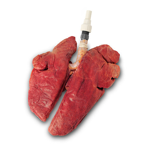 BioQuest® Replacement Inflatable Healthy Swine Lungs Only, Preserved