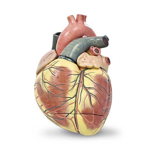 Jumbo Heart Model (3-Part)