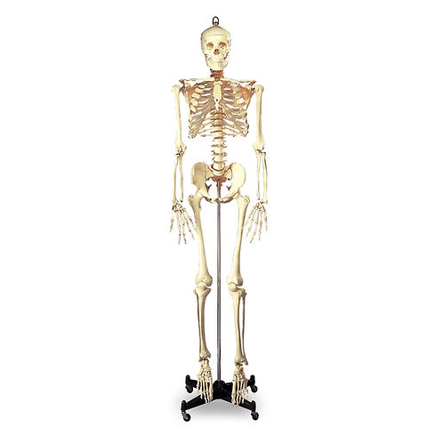 Budget Full-Size Skeleton - 5 ft. 6 in. -Mounted on Metal Base with Wheels