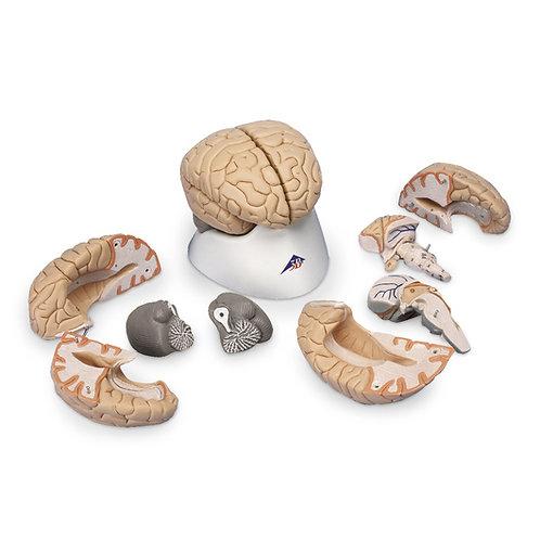 Brain Model (8-Part)