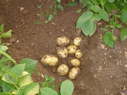 Le patate in campo