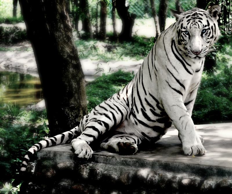Majestic Bengal Tiger