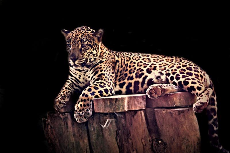 Costa Rican Leopard