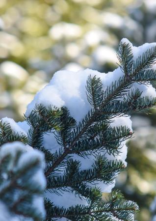 Le neige légère qui agrémente les épines de ce conifère.