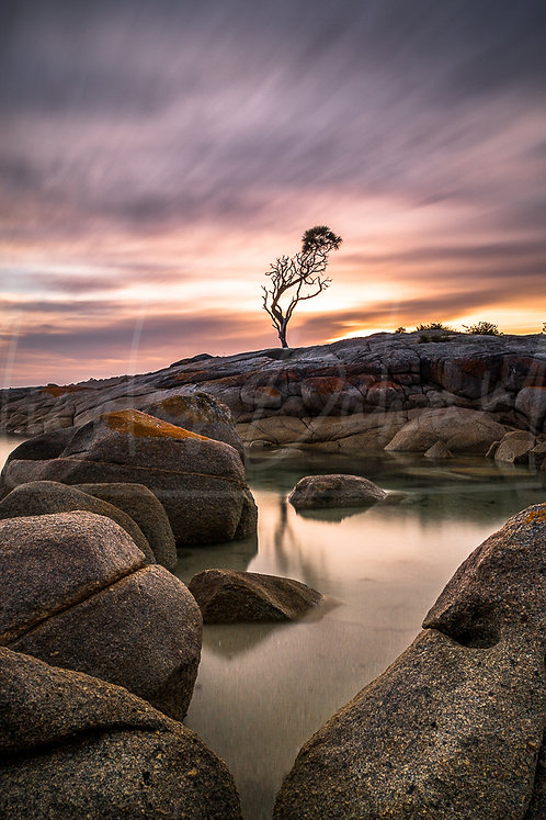Lone tree Bay of fires