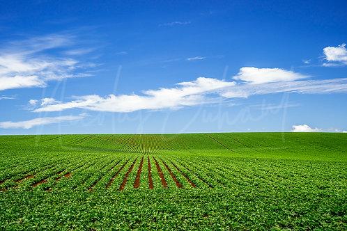 Tassie field