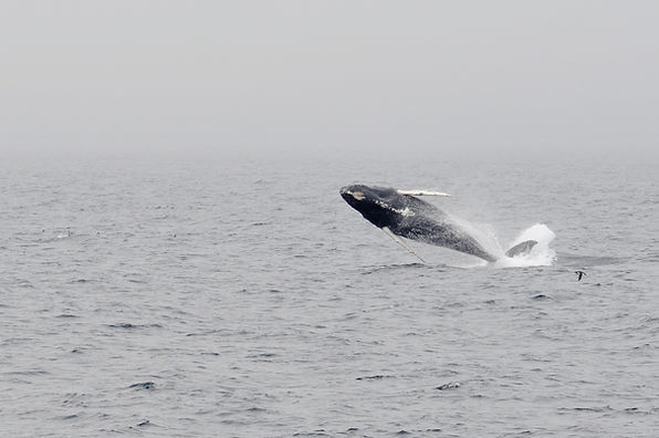 Humpback in Newfoundland