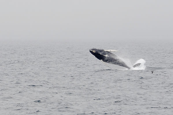 Humpback in Newfoundland