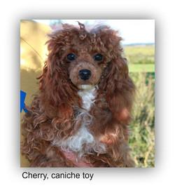 Cherry, caniche toy