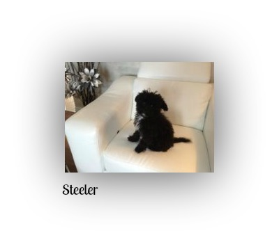 2-steeler, caniche toy