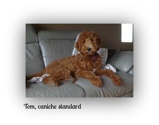 1-tom, caniche standard