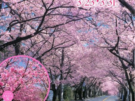 伊豆高原桜まつり3/23-3/31にいよいよ開催となります!(遊方より開花情報の共有)