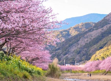 一足早い伊豆半島の河津桜祭りで素敵な1日を