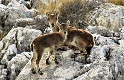Cabras de Montana on Sierra Gordo, Loja