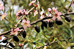Almond blossoms around last season's nuts