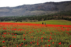 Field of spring poppies between Loja and Riofrio