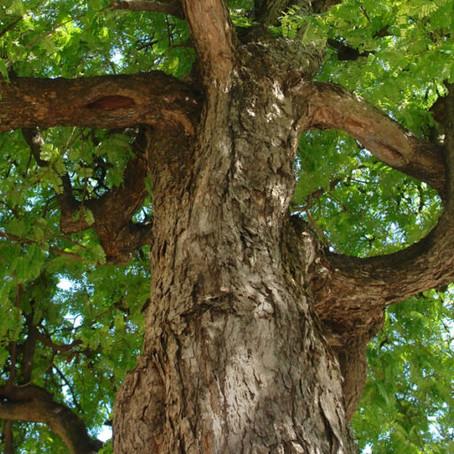 WENGÈ. Un legno dalla forte personalità