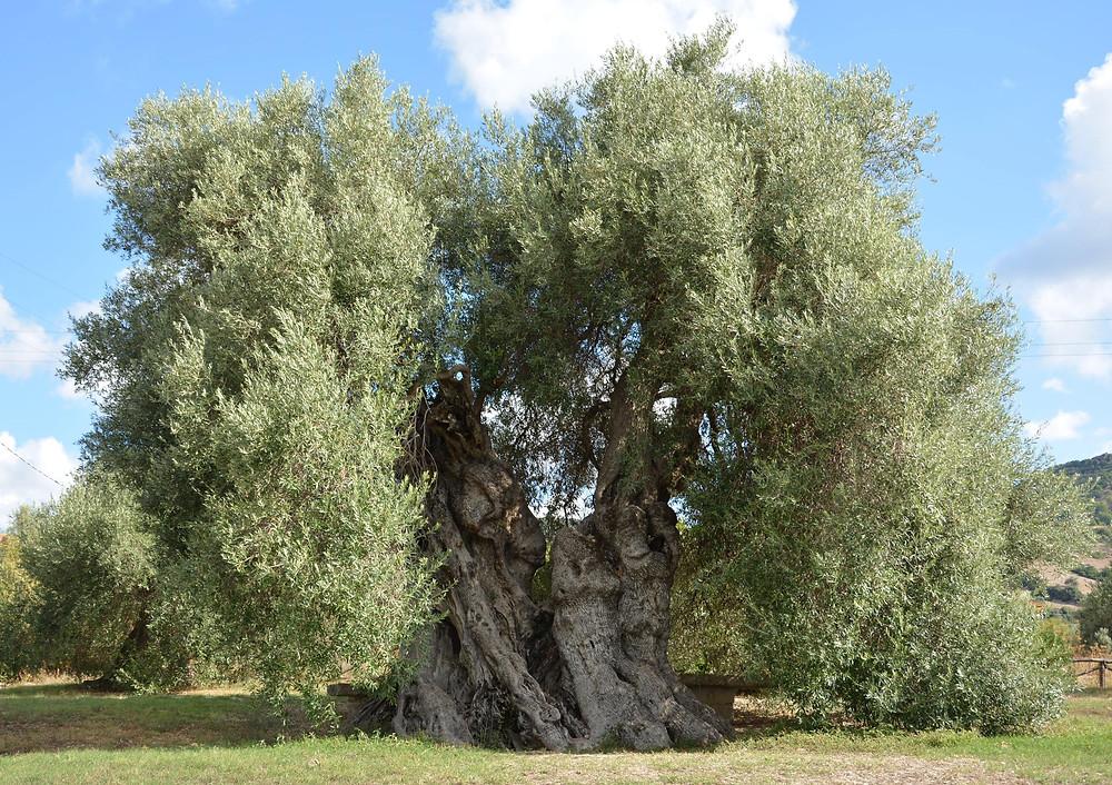 Uno splendido esempio di olivo secolare. Legni pregiati e particolari, Ottolini Legnami, Verona.