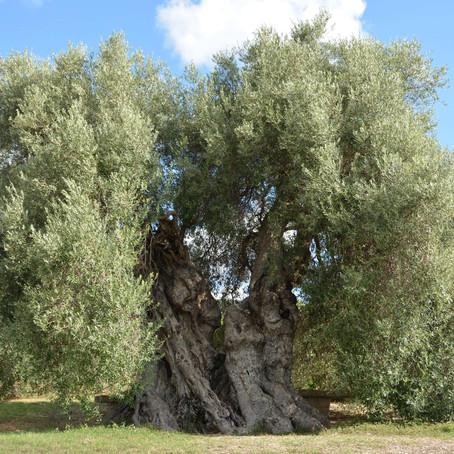L'OLIVO. Albero millenario del Mediterraneo