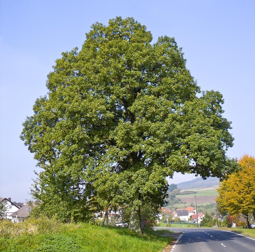 Splendido albero di Rovere, Quercus petraea. Ottolini Legnami, curiosità sul mondo del legno. Verona