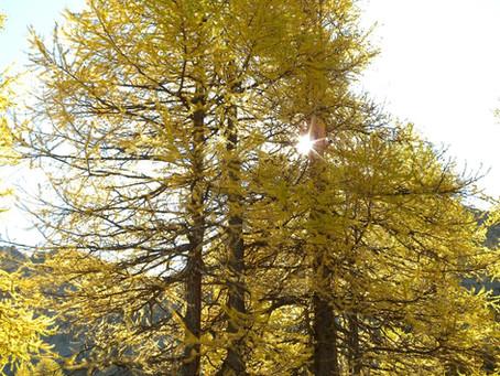 LARICE. Un legno resistente delle nostre Alpi