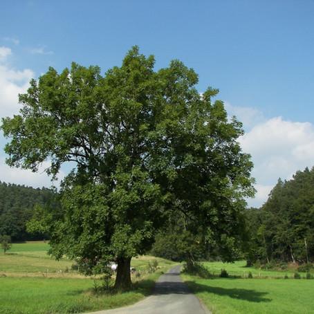 IL FRASSINO. Un legno dalle grandi potenzialità