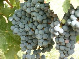 Les raisins de la vigne arrivés à maturité et prêt à être récoltés.