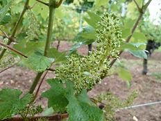 La naissance des grappes de raisons de la vigne.