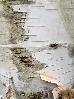 birch bark maine.JPG